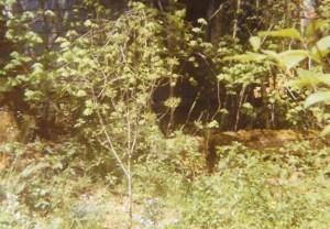 Dogwood (2)